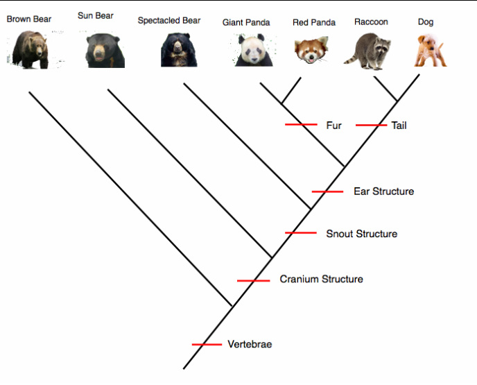 Cladogram The Red Panda